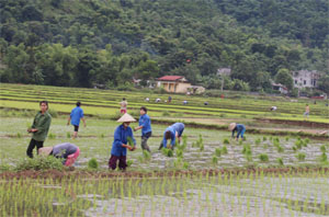 Sau Tết Nguyên đán, nông dân xóm Mớ Đá, xã Hạ Bì xuống đồng cấy lúa vụ chiêm xuân.