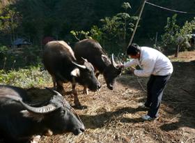 Cán bộ thú y kiểm tra số trâu bò mắc bệnh tại xã Đồng Nghê.