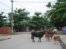 Trâu, bò thả rông có nguy cơ lây lan dịch lở mồm long móng.