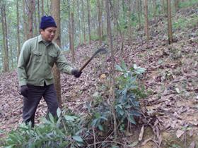 CCB Nguyễn Văn Tài, xóm Om Làng, xã Cao Dương (Lương Sơn) chăm sóc vườn rừng của gia đình.