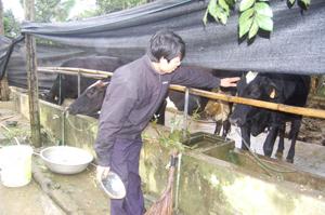 Anh Nguyễn Văn Thắng, xã Nhuận Trạch chăm sóc đàn bò sữa của gia đình.