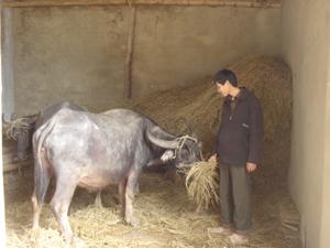 Cán bộ thú y xã Nam Thượng (Kim Bôi) kiểm tra tình hình dịch bệnh trên đàn trâu tại xóm Bình Tân.