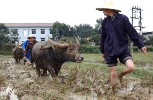 Gia đình ông Bùi Văn Nảy, Bùi Văn Lãng ở xóm Lũy, xã Phong Phú (Tân Lạc) thực hiện đường cày đầu tiên tại Lễ hội Khai hạ Mường Bi năm 2012