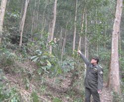 Rừng sản xuất ở Chiềng Châu được bảo vệ và chăm sóc tốt.