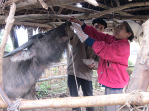 Hộ chăn nuôi xóm Nhõi 3, xã Xuân Phong điều trị cho trâu nhiễm bệnh LMLM theo phác đồ hướng dẫn.