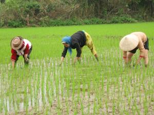 Vụ chiêm - xuân năm 2012, tổng diện tích cấy lúa của TPHB đạt 530 ha, vượt 6% so với kế hoạch.  Ảnh: Nông dân xóm Chùa, xã Thống Nhất chăm sóc, làm cỏ cho lúa chiêm - xuân. Ảnh: N.A