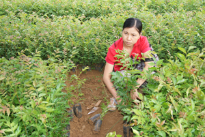 Vườn ươm xã Độc Lập, Kỳ Sơn chuẩn bị sẵn sàng cây giống phục vụ cho công tác trồng rừng năm 2012.