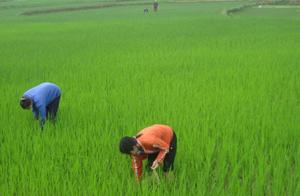 Nông dân xã Bình Thanh (Cao Phong) tập trung chăm sóc, phòng trừ dịch bệnh cho lúa chiêm - xuân.