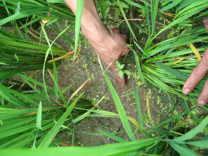 Theo thống kê sơ bộ của Chi cục BVTV, đến ngày 27/2/2013 toàn tỉnh đã có 257 ha lúa chiêm xuân bị nhiễm OBV.