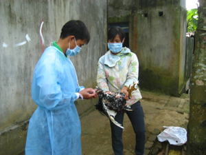 Hộ chăn nuôi xã Cư Yên (Lương Sơn) chủ động tiêm vắcxin phòng bệnh cho gia cầm.