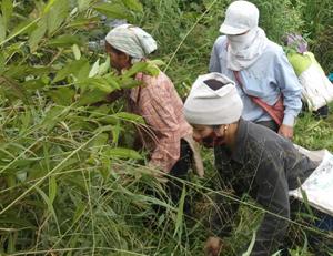 Các hộ trồng rừng xã Quý Hòa (Lạc Sơn) phát dọn và xử lý cỏ dại, lau lách phòng cháy - chữa cháy rừng mùa khô hanh.