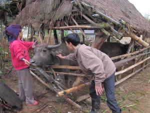 Cán bộ thú y phụ trách địa bàn xã Xuân Phong tiêm phòng LM-LM  cho đàn gia súc.