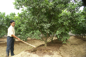 CCB Bùi Trọng Quyết, xóm Rỵ, xã Phú Thành (Lạc Thủy) chăm sóc vườn cam của gia đình.