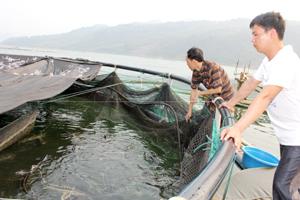 Sau 4 tháng nuôi thử nghiệm, cá tầm sinh trưởng ở vùng lòng hồ Hoà Bình.