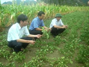 Mô hình trồng lạc xen ngô thực hiện tại xã Phú Lai (Yên Thủy) góp phần tăng thu nhập cho nông dân.