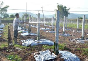 Mô hình trồng thanh long ruột đỏ trên địa bàn xã Hợp Thành  (Kỳ Sơn) đảm bảo đủ nước tưới nên sinh trưởng, phát triển tốt.