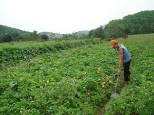 Những năm qua, người dân xã Sào Báy (Kim Bôi) mở rộng diện tích trồng dưa bở, bí xanh, bí đỏ mang lại nguồn thu nhập đáng kể  cho nhiều hộ gia đình.