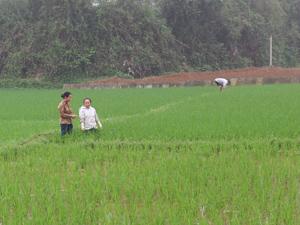 Tổ bảo vệ thực vật xã Nhuận Trạch – Lương Sơn hướng dẫn, kiểm tra phát hiện sâu bệnh hại trên diện tích lúa chiêm thời kỳ đẻ nhánh.