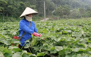 Nông dân xã Ba Khan (Mai Châu) trồng rau su su lấy ngọn mang lại hiệu quả kinh tế cao.