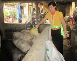 Chị Nguyễn Thị Thinh chăm sóc đàn lợn của gia đình.