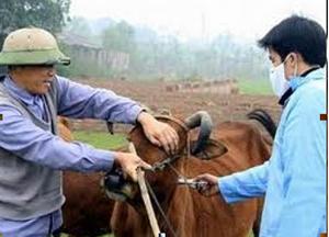 Huyện Mai Châu tiêm phòng THT trâu, bò tại các xã vùng dịch và vùng dịch uy hiếp.