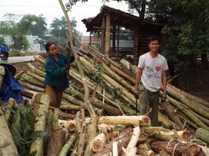 Kinh tế rừng là hướng hiệu quả giải quyết việc làm và giảm nghèo bền vững cho người dân trong tỉnh.  ảnh: Người dân xã Thượng Cốc (Lạc Sơn) thu hoạch gỗ rừng sản xuất.