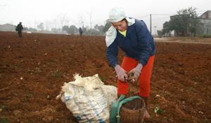 Nông dân xã Cao Sơn (Đà Bắc) làm đất trồng dong riềng năm 2016.