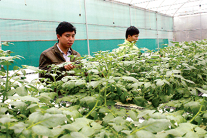 Trung tâm ứng dụng khoa học và công nghệ (Sở Khoa học và Công nghệ)  trồng khoai tây chất lượng cao bằng công nghệ khí canh.