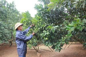 Ông Bùi Văn Ló, xóm Đồng Tiến, xã Đông Lai (Tân Lạc) chăm sóc vườn bưởi đỏ sau  thu hoạch,  chuẩn bị cho cây ra hoa vụ mới.