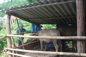Người dân xõm Bãi Thượng, xã Yên Thượng chuyển tập quán chăn thả gia súc sang nuôi nhốt, phát triển chăn nuôi.