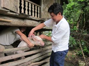 Cán bộ Trạm thú y thành phố Hòa Bình  tiêm phòng vắcxin cho đàn lợn tại xã Sủ Ngòi.