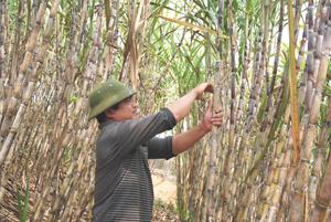 Anh Bùi Văn Tường, xóm Đảy, xã Yên Lập (Cao Phong) chăm sóc vườn mía trắng của gia đình.