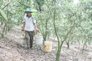 Nông dân khu 8, thị trấn Cao Phong (Cao Phong)  thu hoạch cam chín muộn.