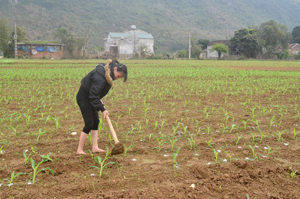 Thực hiện Nghị quyết Đại hội Đảng bộ xã, nhân dân xóm Tiền Phong, xã Yên Bồng (Lạc Thủy) đã  đẩy mạnh chuyển đổi cơ cấu cây trồng có giá trị hàng hóa cao.