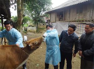 Huy động các lực lượng kiểm tra trâu, bò nghi ốm tại xã Phú Cường.