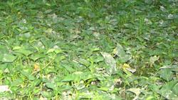 Rau muống có công năng thanh nhiệt, lương huyết, chỉ huyết, thông đại tiểu tiện, lợi thủy, giải độc khi cơ thể bị xâm nhập các chất độc của nấm độc, cá, thịt độc, khuẩn độc, hoặc độc chất do côn trùng