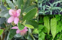 Cây sim, cỏ mực và mướp đắng là những loại thảo dược dễ tìm, giúp trị ban sởi hiệu quả
