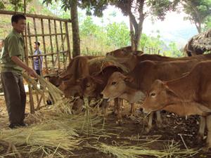 Nhiều hộ dân ở xã Mai Hịch (Mai Châu) đầu tư phát triển đàn trâu, bò theo hướng trang trại.