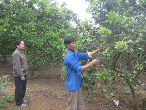 Anh Nam đang chăm sóc vườn bưởi Diễn cho thu nhập cao.