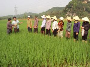 Cán bộ trạm BVTV Kỳ Sơn đang hướng dẫn bà con nông dân cách nhận biết các biểu hiện của cây lúa bị bệnh lùn sọc đen.