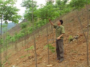 CCB Hà Văn Thườm, xóm Ngoã, xã Mai Hịch chăm sóc vườn xoan của gia đình.