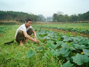 Để có thu nhập cao, hàng ngày, ông Bùi Thanh Dồn ở xóm Trớ, xã Quy Hậu miệt mài bên vườn bí, vườn dưa của mình.