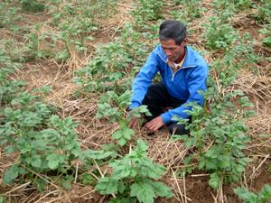 Nông dân xóm Hải Sơn, xã Mai Hịch (Mai Châu) trồng và chăm sóc khoai lang theo phương pháp hữu cơ sinh học.
