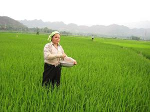 Nông dân xóm Khòe, xã Xăm Khòe bón thúc cho lúa chiêm - xuân.