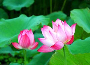 Hoa Sen đang chiếm ưu thế về số lượng người lựa chọn đề nghị làm Quốc hoa