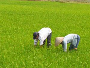 Nông dân xã Hạ Bì (Kim Bôi) thường xuyên kiểm tra đồng ruộng, chủ động phát hiện các đối tượng sâu bệnh hại lúa và phòng trừ kịp thời, hiệu quả.