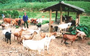 Mô hình chăn nuôi bò dê ở xã Gia Mô, Tân lạc đem lại hiệu quả kinh tế cao.