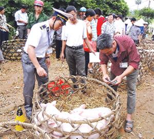 Lực lượng thú y huyện Lạc Sơn kiểm soát dịch bệnh và tiêm phòng trên đàn lợn.
