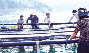 Dự án nuôi cá tầm thương phẩm ở xã Hiền Lương (Đà Bắc) mở hướng phát triển kinh tế ở vùng hồ Hòa Bình. (Ảnh: Thu Trang)