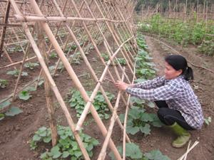 Hộ trồng rau an toàn xóm Máy 3 chăm sóc cây bí xanh theo quy trình Việt GAP.